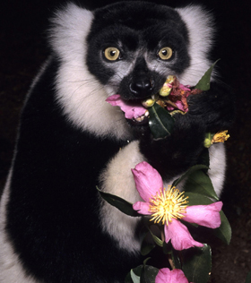 lemur eating flowers