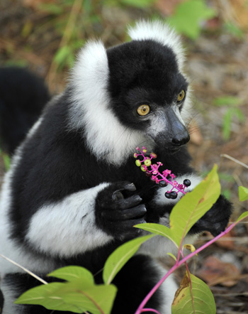 lemur eating pokeweed