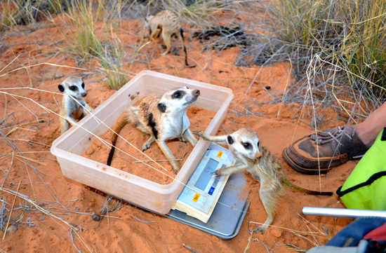 During one meerkat weigh-in, this practical joker put his thumb on the scale.