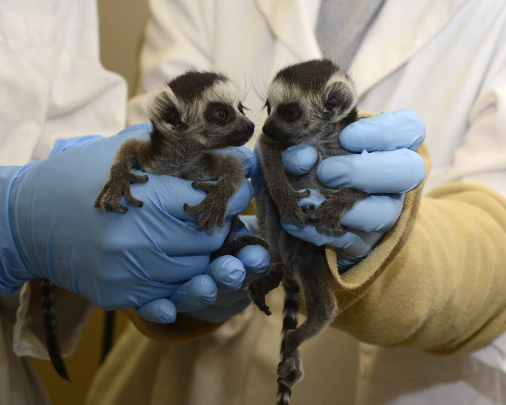 An arranged marriage between ring-tailed lemurs at the Duke Lemur Center in North Carolina produced healthy twins Griselda and Hedwig in 2016. The infants are among 40 to 60 ring-tailed lemur infants born in North American zoos and other facilities each year. Photo by David Haring, Duke Lemur Center.