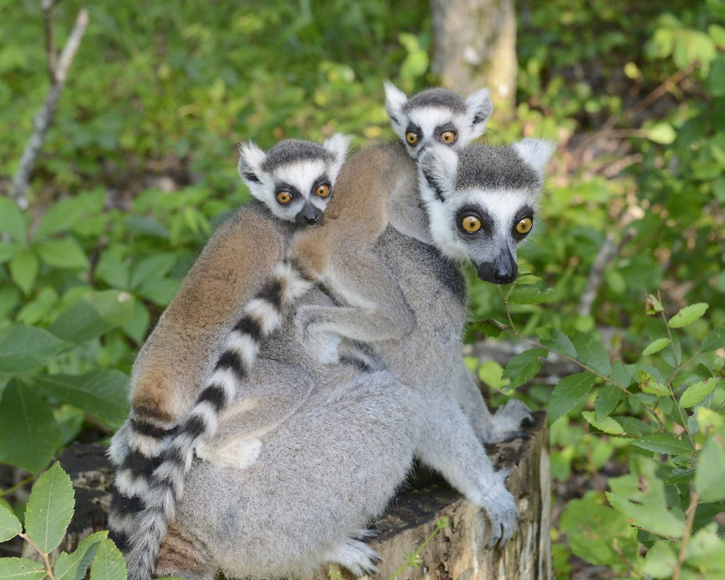Baby lemur twins Nemesis and Narcissa were the product of a breeding program developed by the American Association of Zoos and Aquariums to preserve the future genetic health of North America's captive ring-tailed lemurs. Their mother Sophia was among 62 ring-tailed lemurs recommended for breeding across 20 institutions nationwide in 2016. Photo by David Haring, Duke Lemur Center.