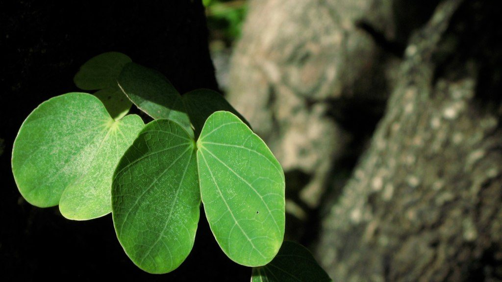 Lung-shaped leaves