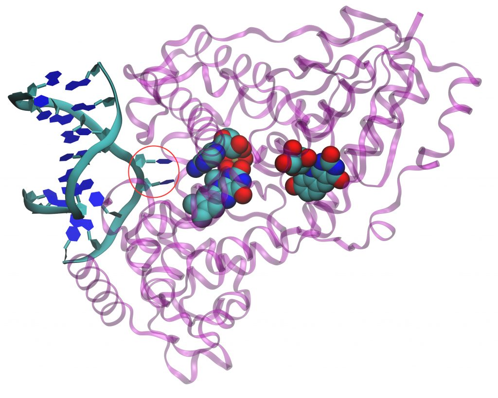 A ribbon diagram of a photolyase protein