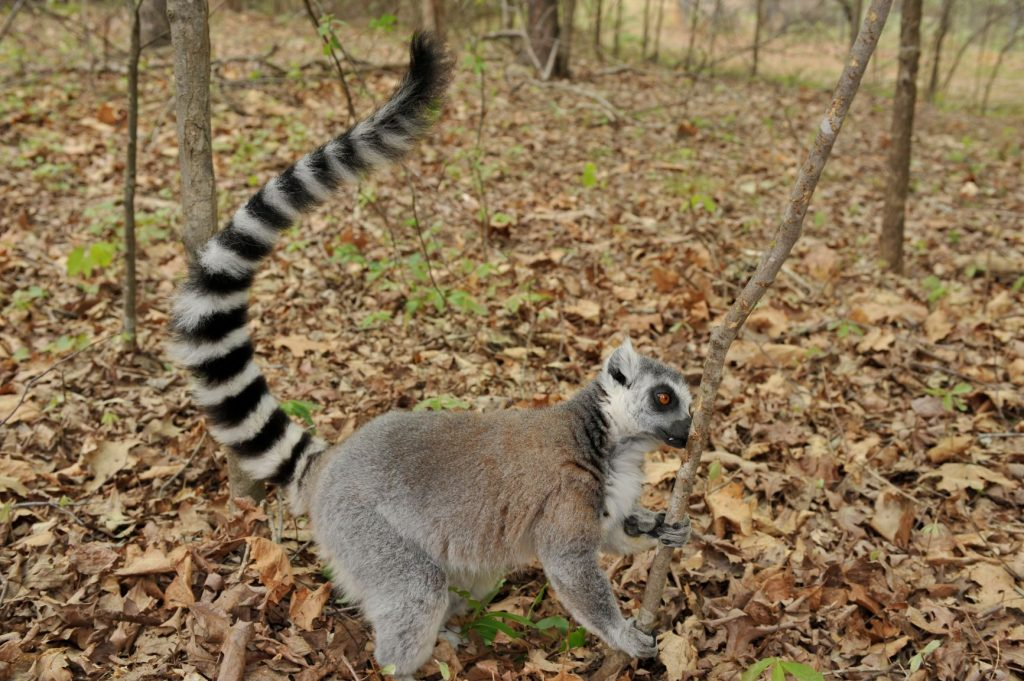 Smell check: Fritz the ring-tailed lemur sniffs a tree for traces of other lemurs' scents at the Duke Lemur Center.